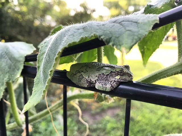 hey, cucumber fren. #frawg #frog