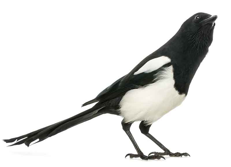 magpie-home.jpg