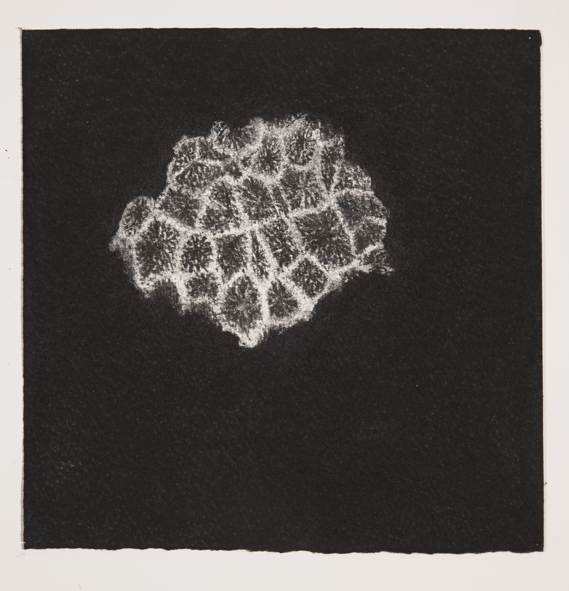 Coral, 2014, charcoal on paper, 19x19cm