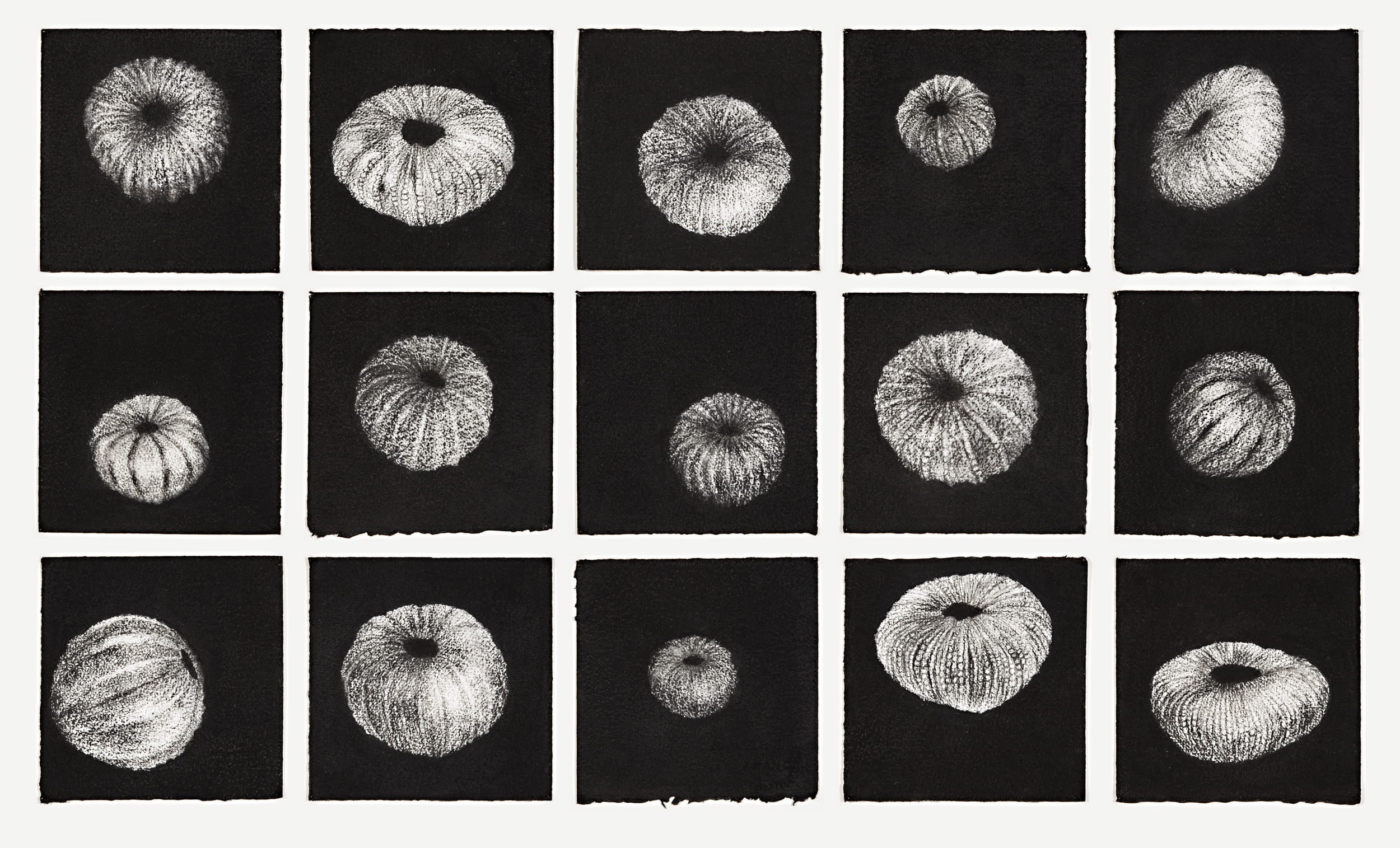 15 urchins, 2014 charcoal on paper, each 18 x 18cm