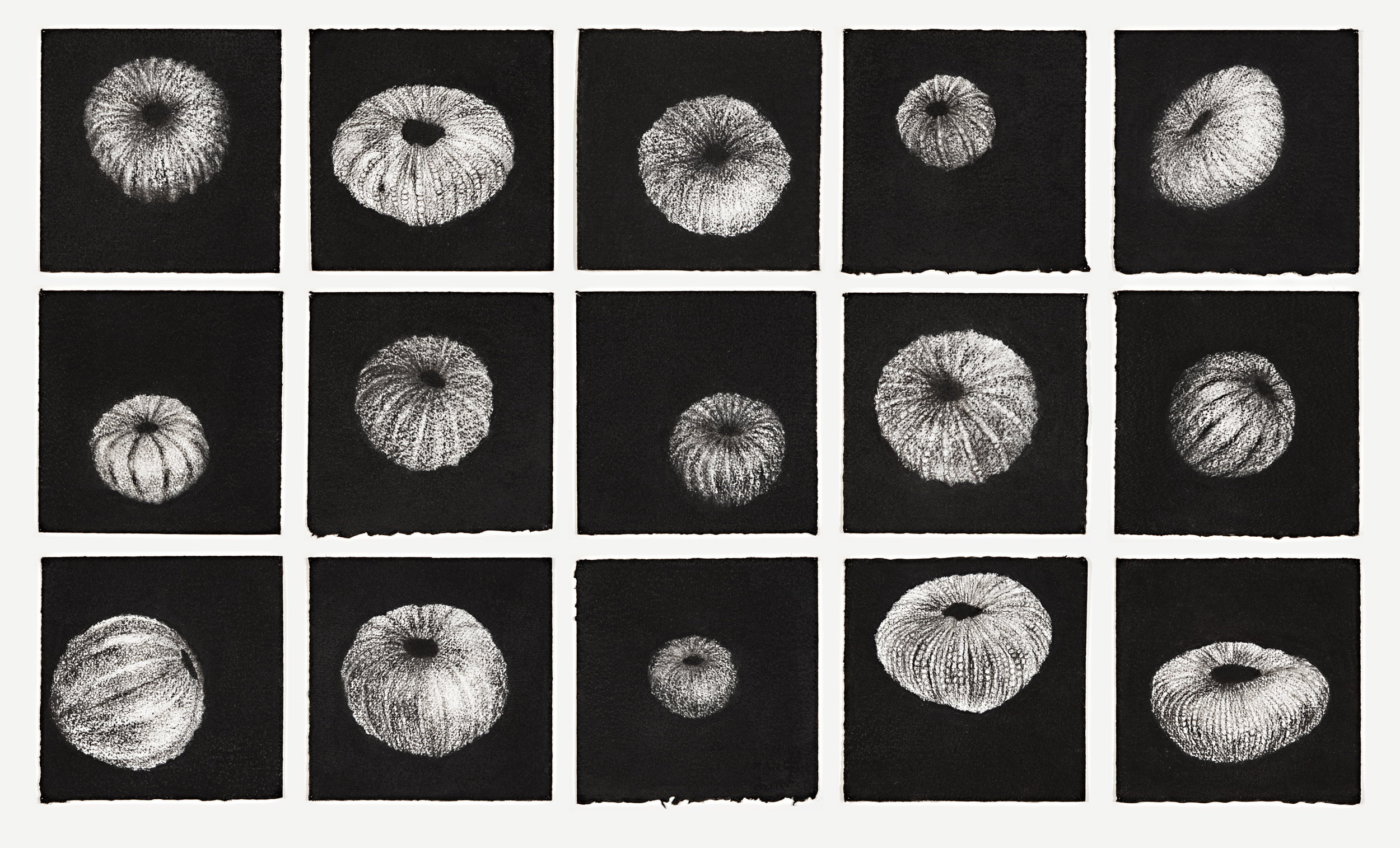 Fifteen urchins, 2014-2015, charcoal on fifteen   sheets of white paper; 18 x 18 cm each sheet (installation size variable), installation image Glasshouse Port Macquarie Regional Gallery 2016