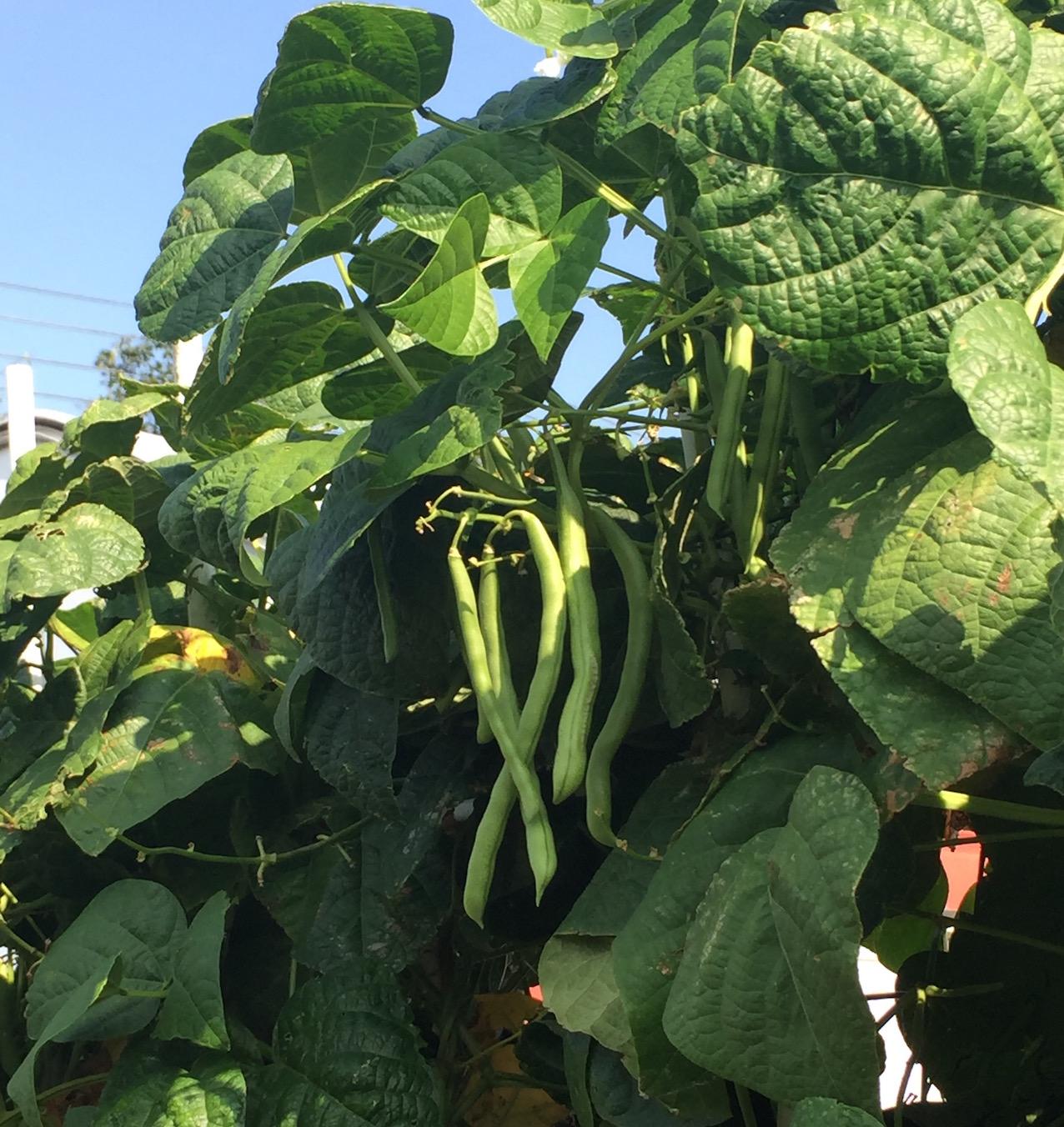 Auntie Chrissie's green beans