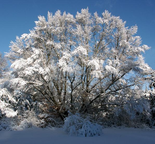 Snowy-oak.jpg