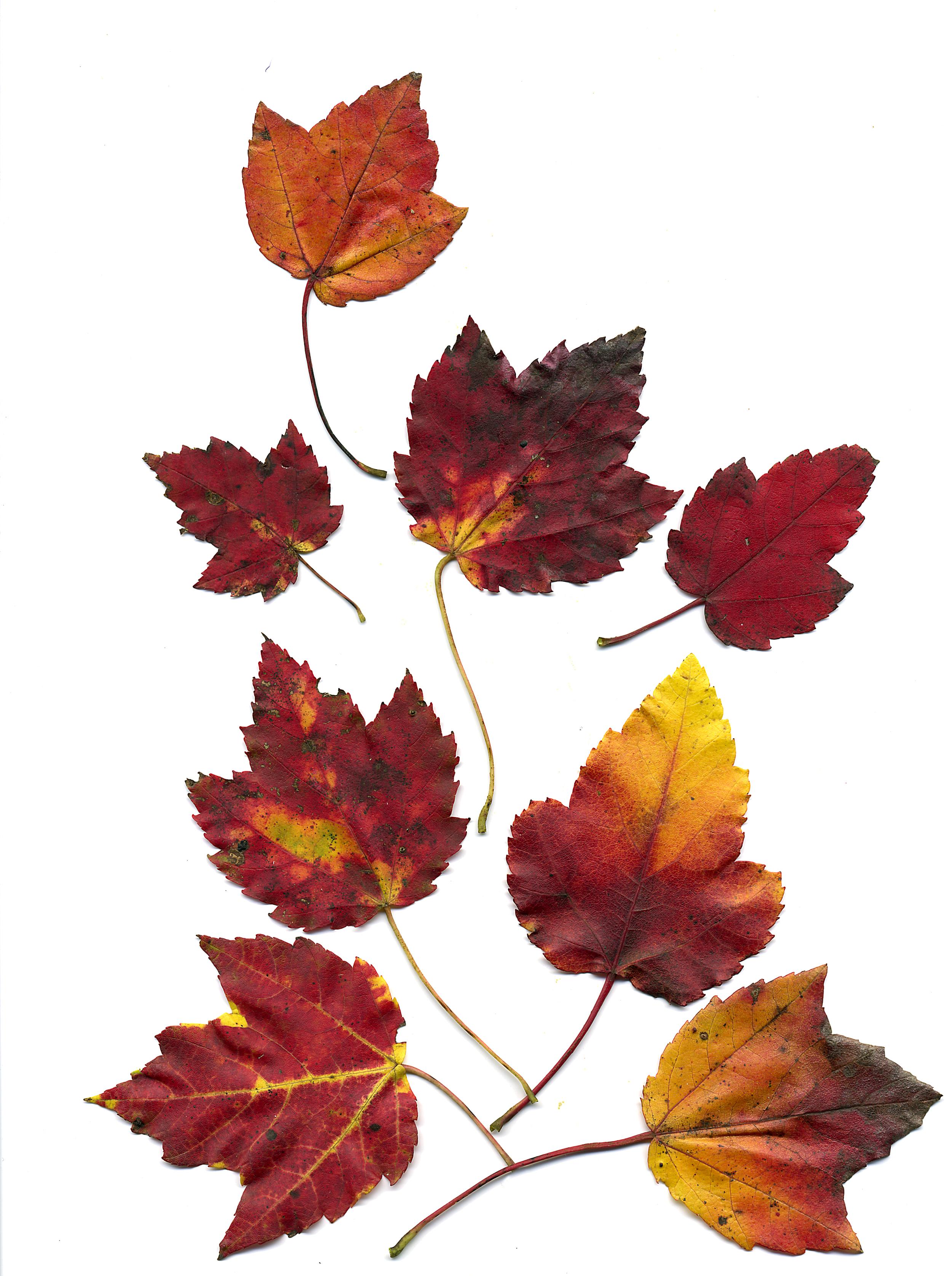 fall 2006 leaves 1.jpg