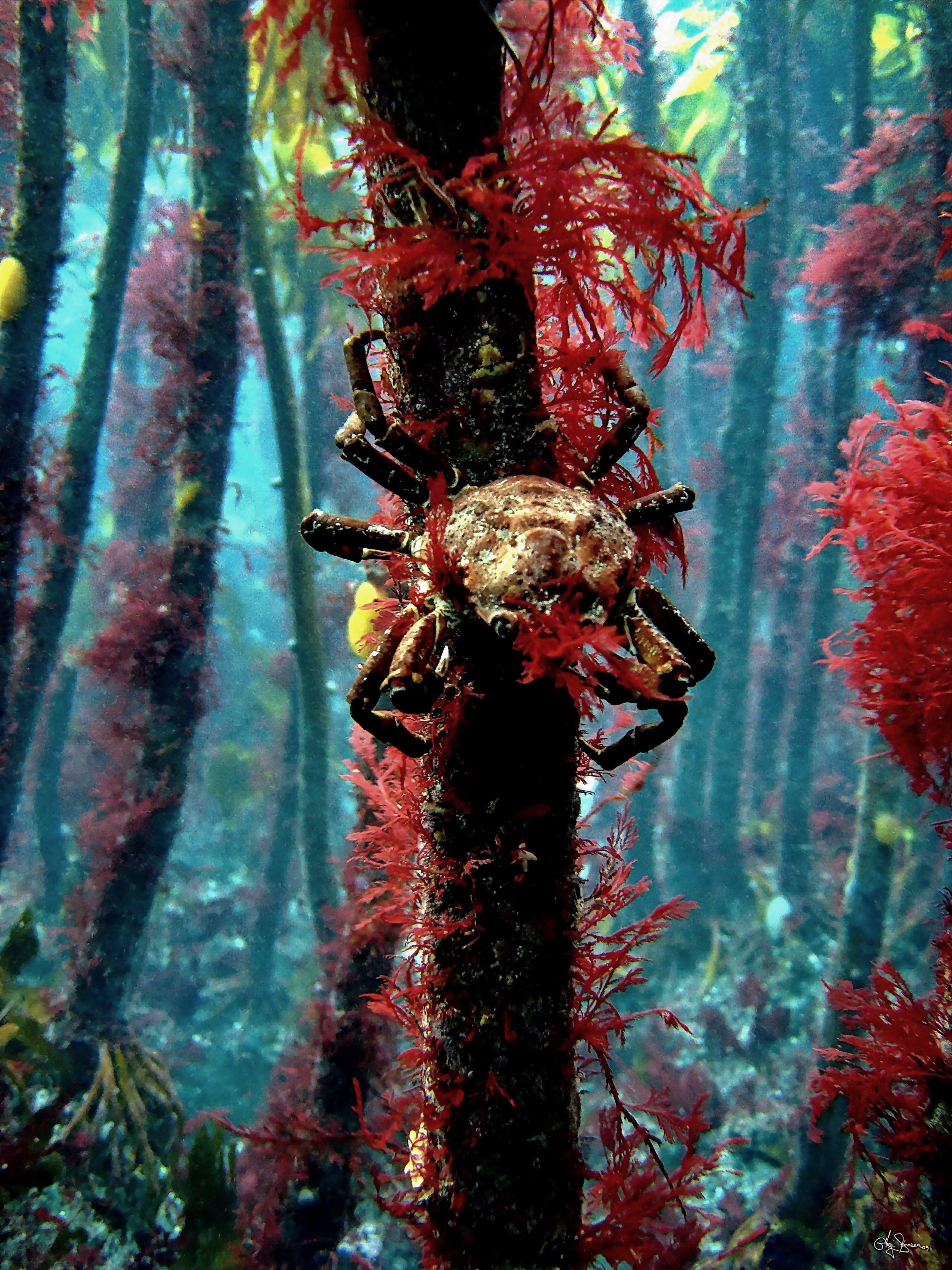 Kvívík. A crab is climbing the kelp forest