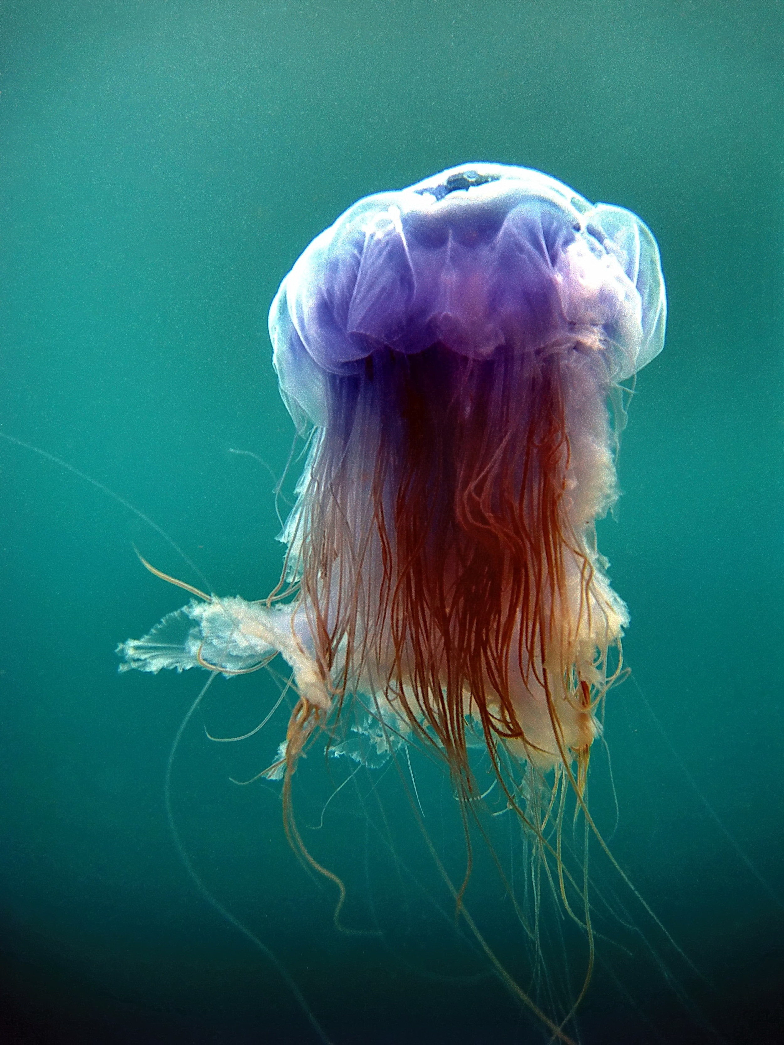 Jellyfish, captured on the east side of Nolsoy