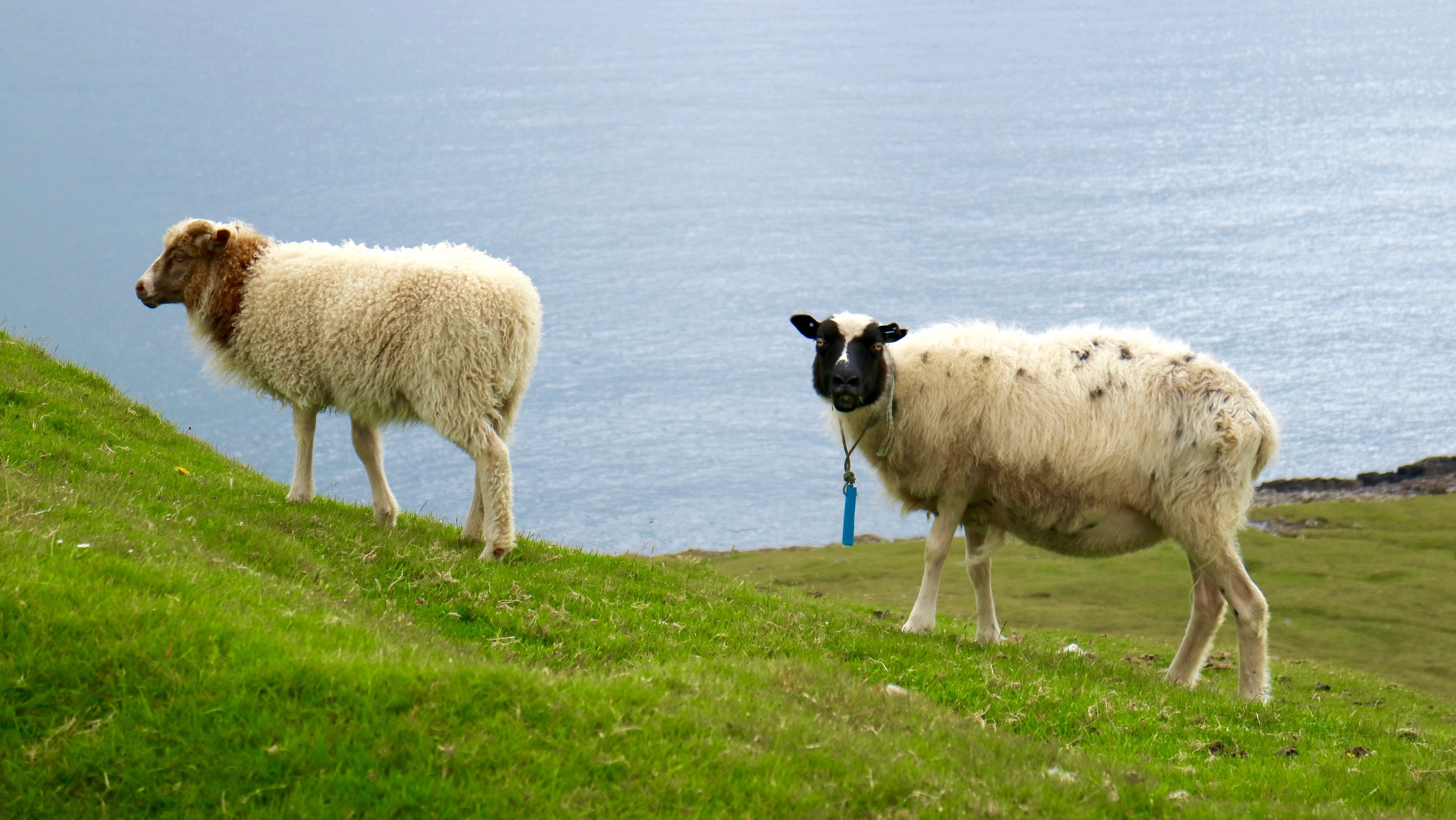 The first guests have arrived: Sheep close to Sandur on Sandoy. What about birthday presents?!