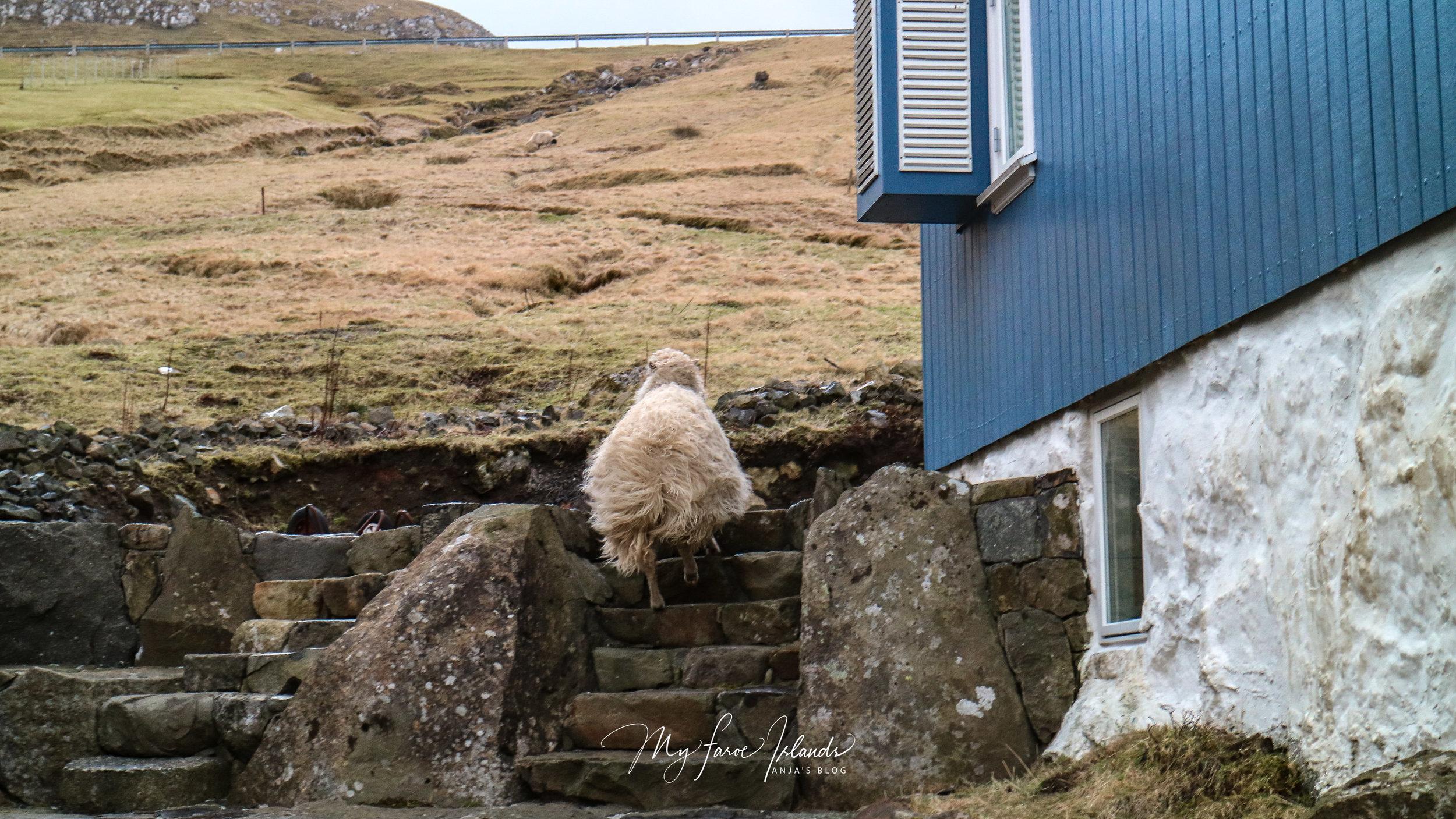 Sheep Mailman 1 © My Faroe Islands, Anja Mazuhn  (1 von 1).jpg