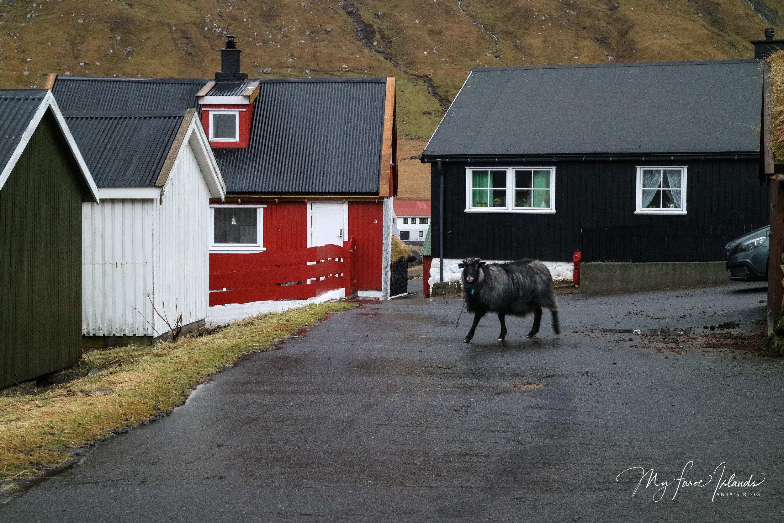 Sheep Near Car © My Faroe Islands, Anja Mazuhn  (1 von 1).jpg