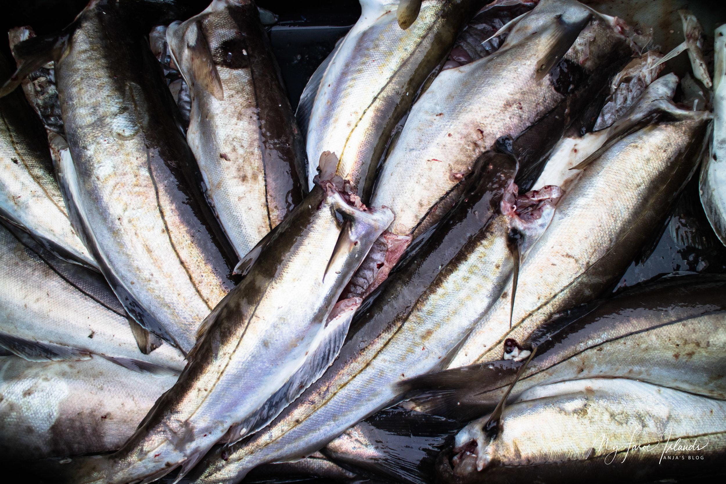 Fish 1 © My Faroe Islands, Anja Mazuhn  (1 von 1).jpg