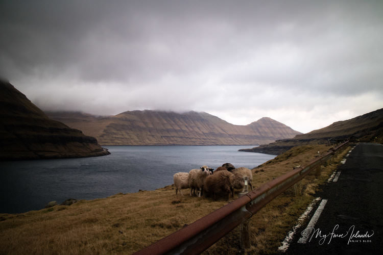 Sheep+©+My+Faroe+Islands,+Anja+Mazuhn++.jpg