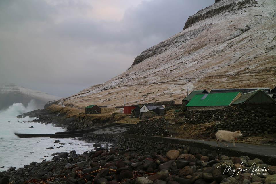 Village-Sheep-My-Faroe-Islands.jpg