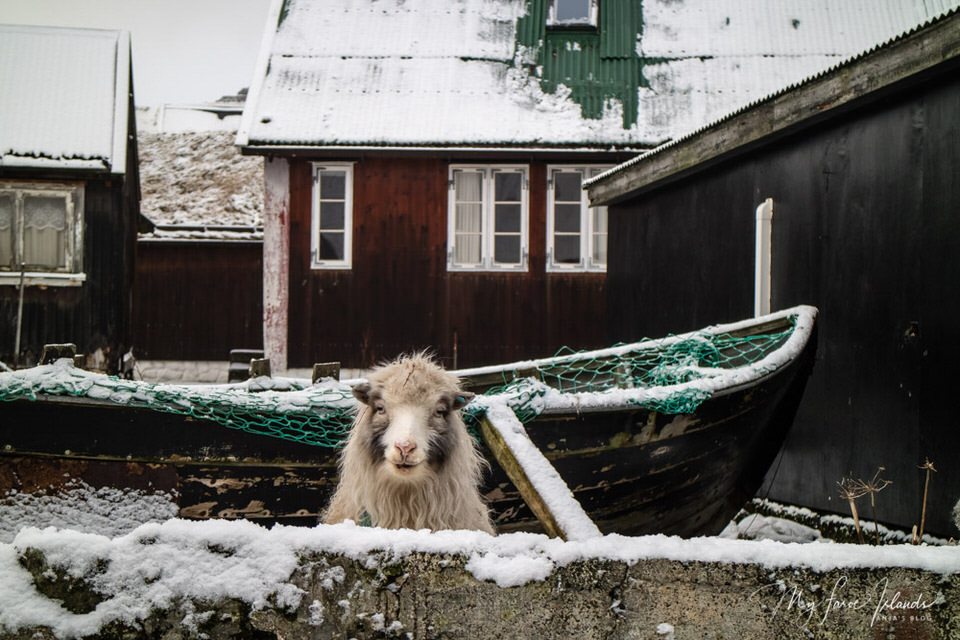 My-Faroe-Islands-Pirate-Sheep-3.jpg