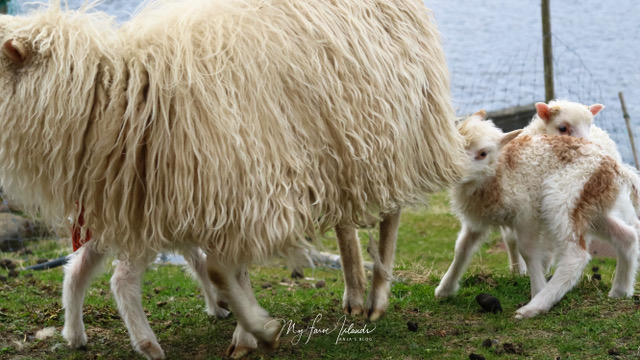 myfaroeislands-lamb-2.jpeg