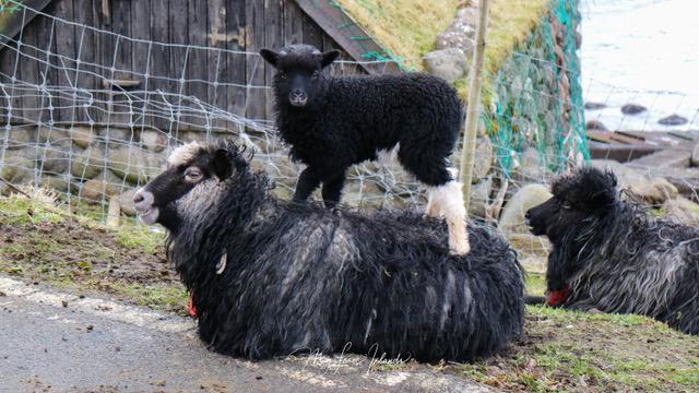myfaroeislands-lamb-3.jpg