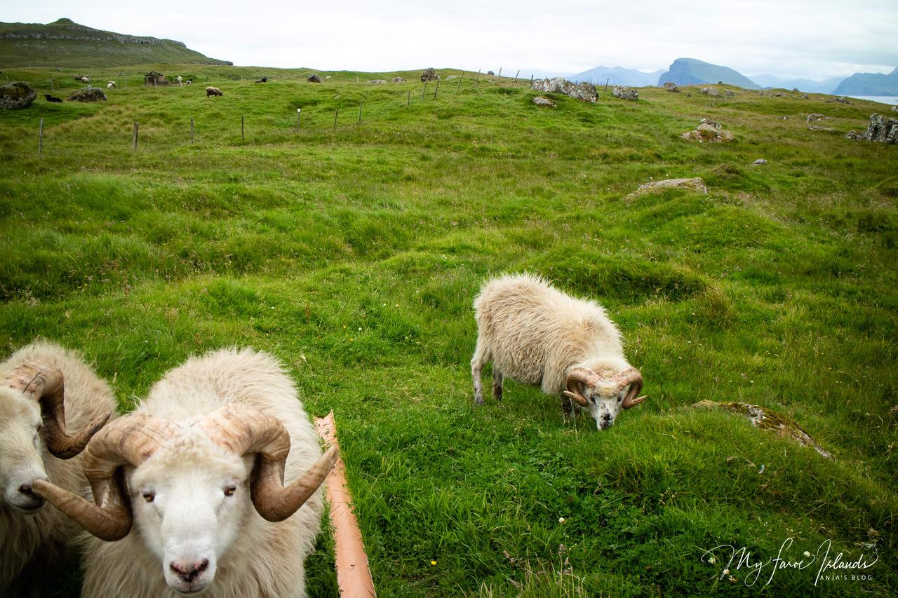 sheepbeauty.jpeg