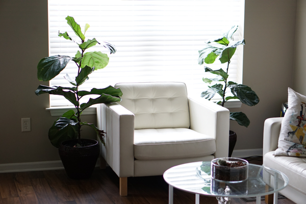 No. 2 The Fiddle Leaf Fig Tree - Ficus Lyrata