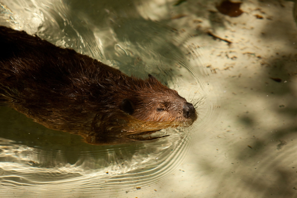 "in the photo: ""smug beaver"""