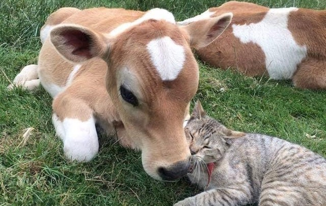 These Happy Cows On Reddit Are Almost Too Pure For Words | I