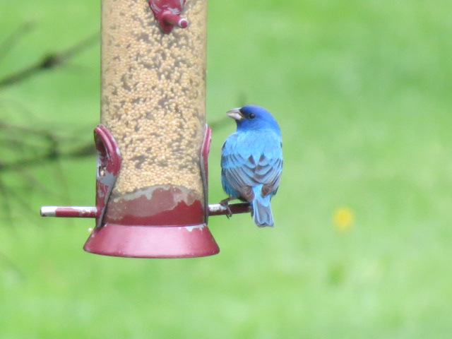 Indigo Bunting on a Droll Yankees seed feeder filled with a combination of White Millet & Nyjer!