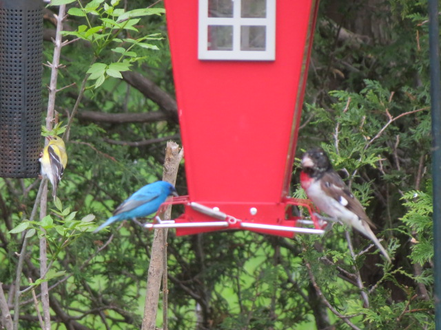 "Indigo Bunting ""sharing"" with a Rose-breasted Grosbeak."