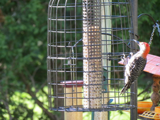 Red-bellied Woodpecker arrives at peanut feeder with cage