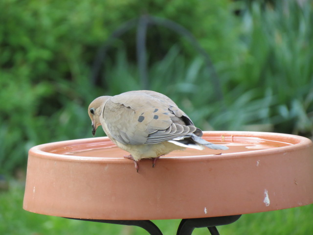 Mourning Dove at the bird bath