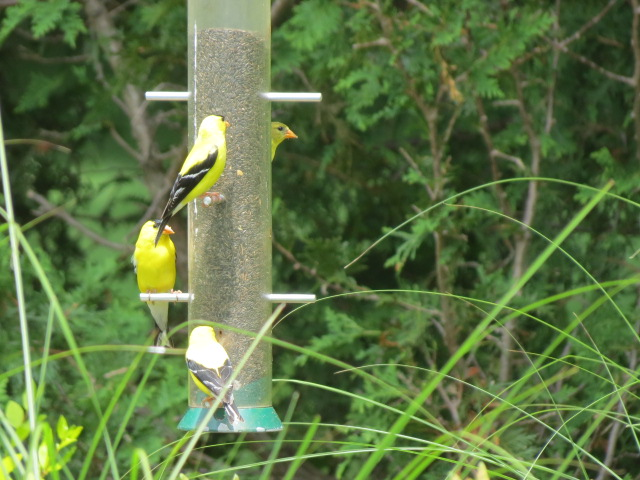 Pretty Goldfinches pictured here on a Droll Yankees Nyjer Seed Feeder
