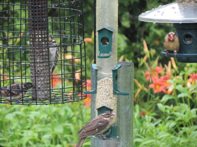 Female Cardinal enjoying the Squirrel Buster Plus