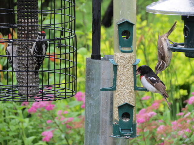 Fun at the feeders with the Downys & Grosbeaks