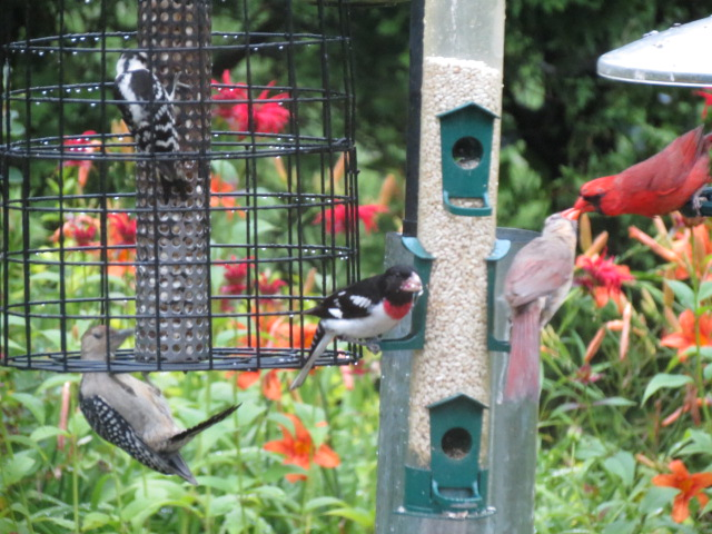 Red-bellied Woodpecker & Downy Woodpecker lovin' the peanuts; Rose-breasted Grosbeak lovin' the safflower; Mr & Mrs Cardinal lovin' each other ~ Priceless!