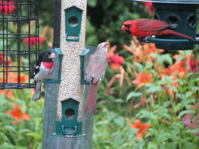 Mrs Cardinal ready for more sharing from Mr Cardinal