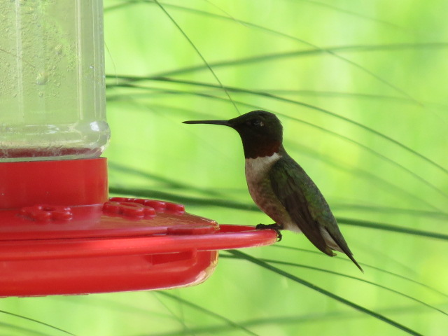 """""""Posing"""" at a favourite feeder!"""