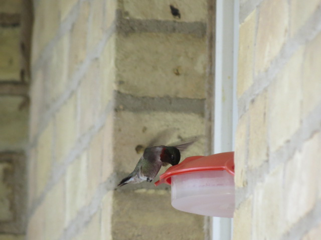 One of many visits during the day to our window nectar feeder!