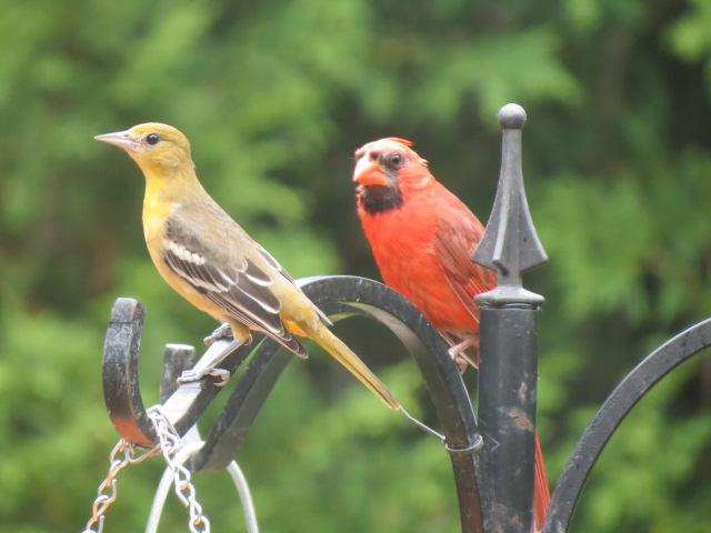 Beautiful Baltimore Oriole & Northern Cardinal