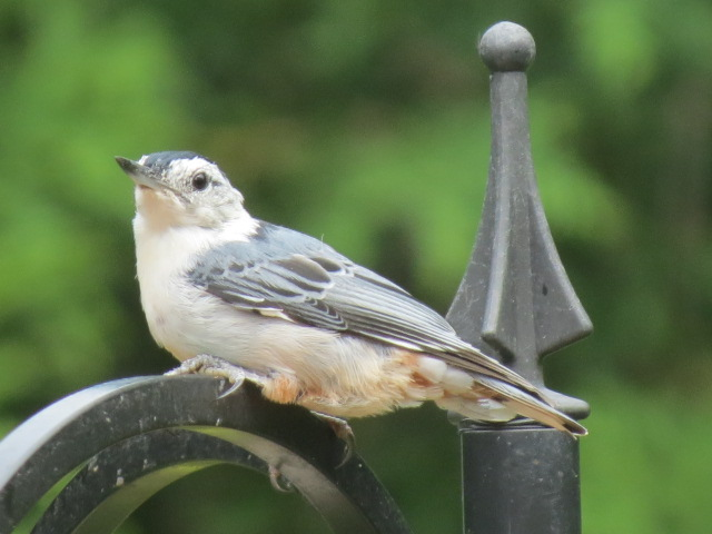 Adorable White-breasted Nuthatch