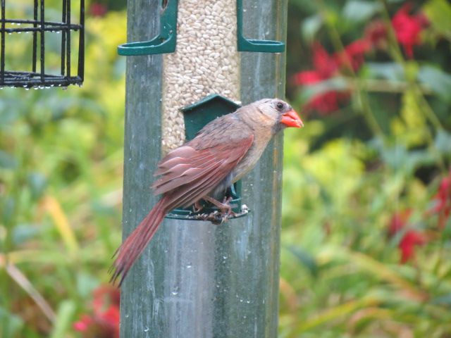 F Northern Cardinal....a little soggy in the rain!