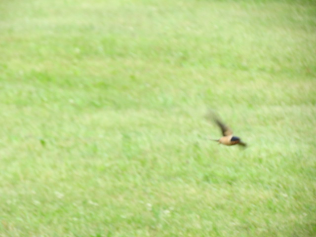 Another species at risk is the Barn Swallow