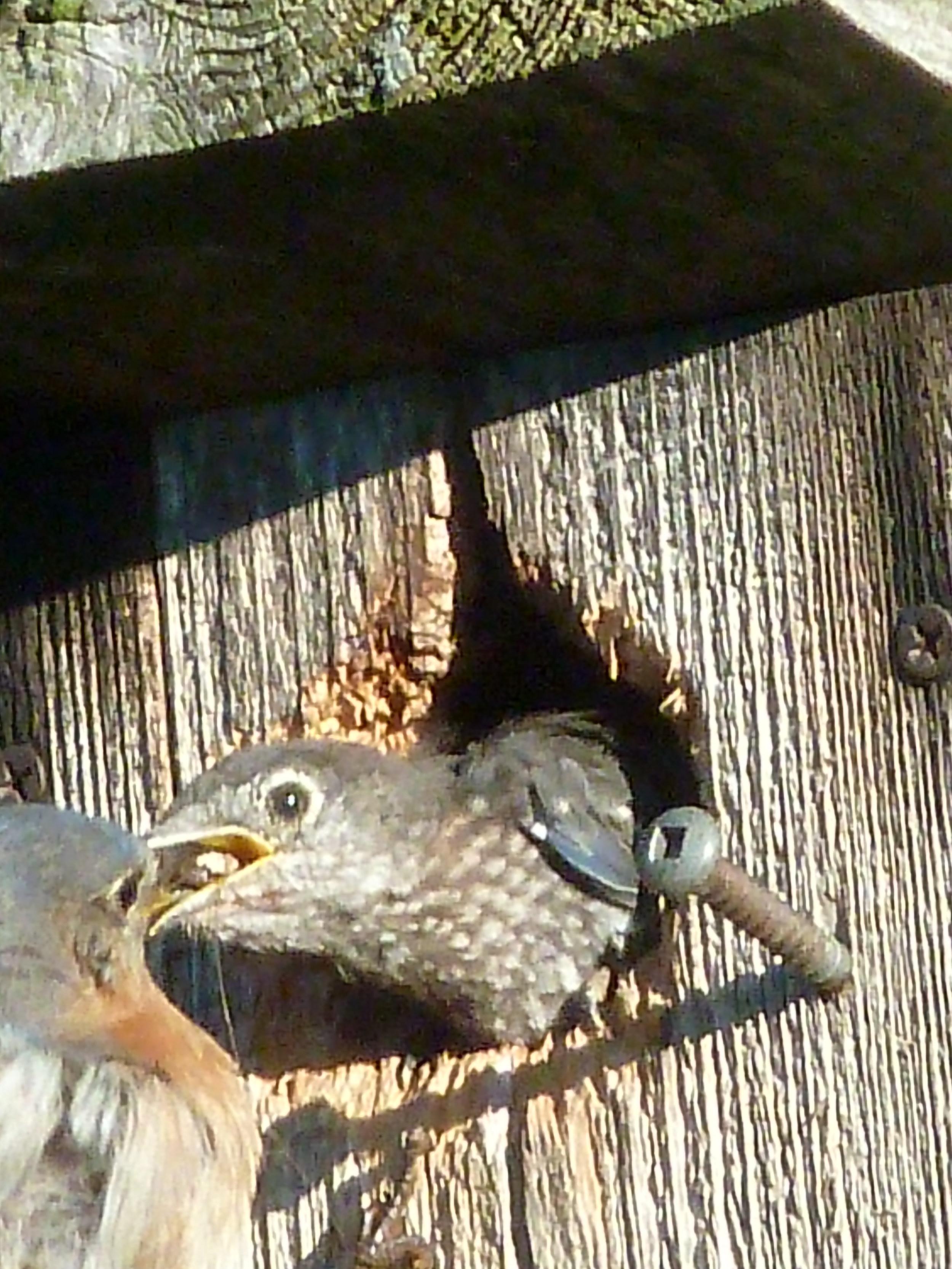 Feeding time in the Eastern Bluebird house!!