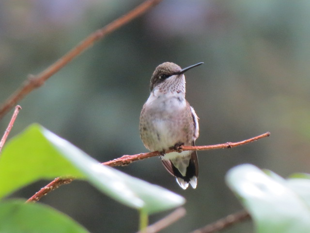 Adorable Ruby-throated Hummingbird ~ Thanks for posing!!