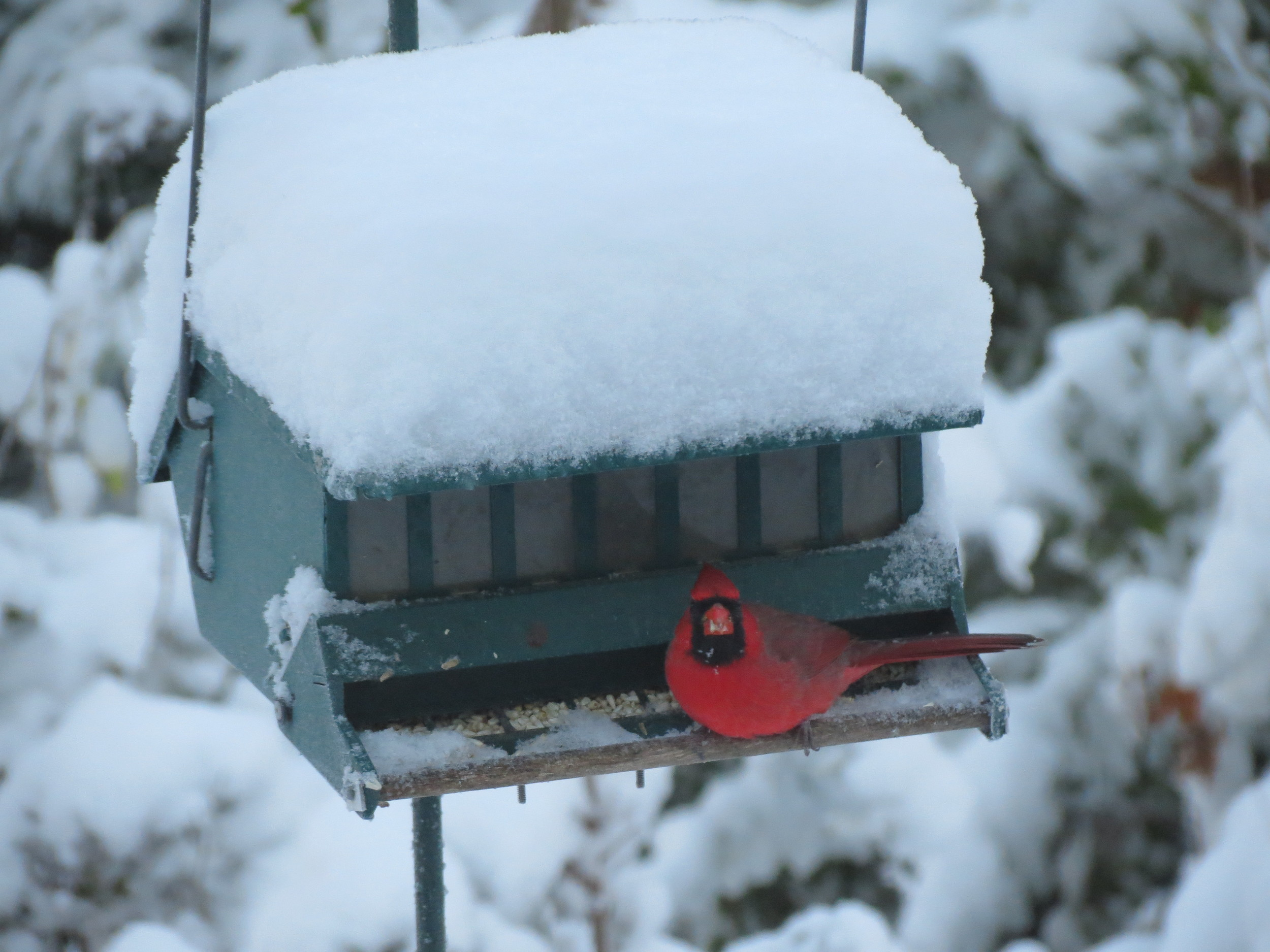Always wonderful to report Cardinals at our feeders during Project FeederWatch season!!