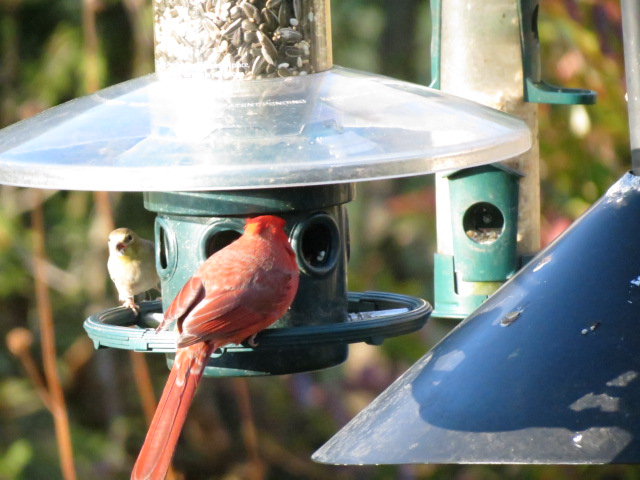 Male Cardinal & Goldfinch visiting the Squirrel Buster Plus