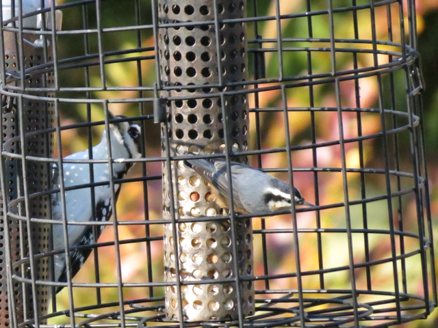 Hairy Woodpecker & Red-breasted Nuthatch