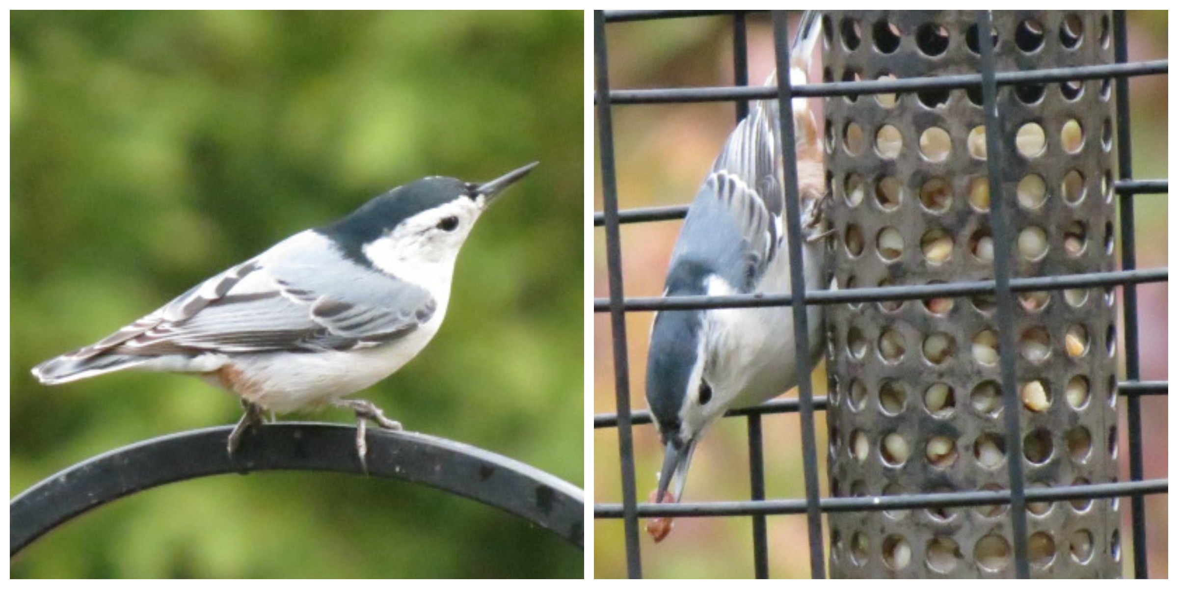 White-breasted Nuthatch has a peanut prize!!