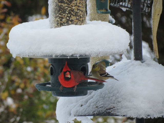 Northern Cardinal & American Goldfinches on the Squirrel Buster Plus   with Weather Guard (sold separately)