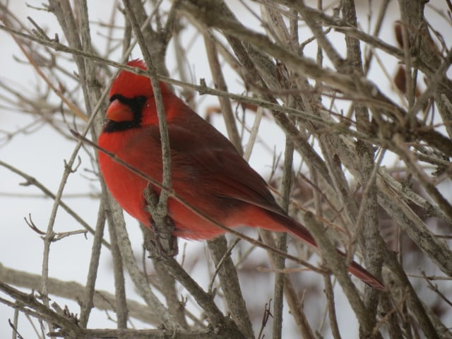 A male  Cardinal  perched just beyond our kitchen window Tuesday, January 12/16.