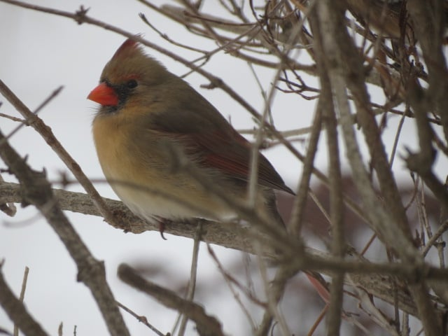 A female Cardinal in the same spot January 12/16