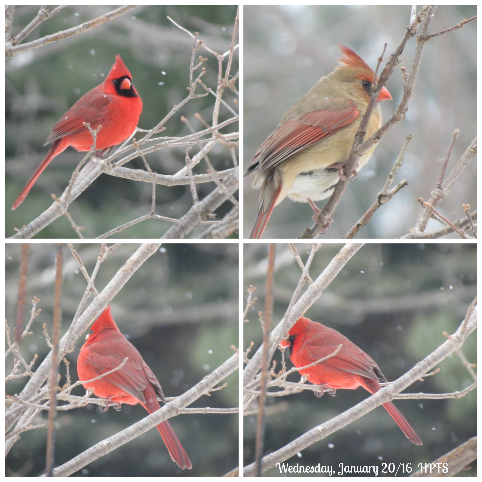 Male & Female Northern Cardinal