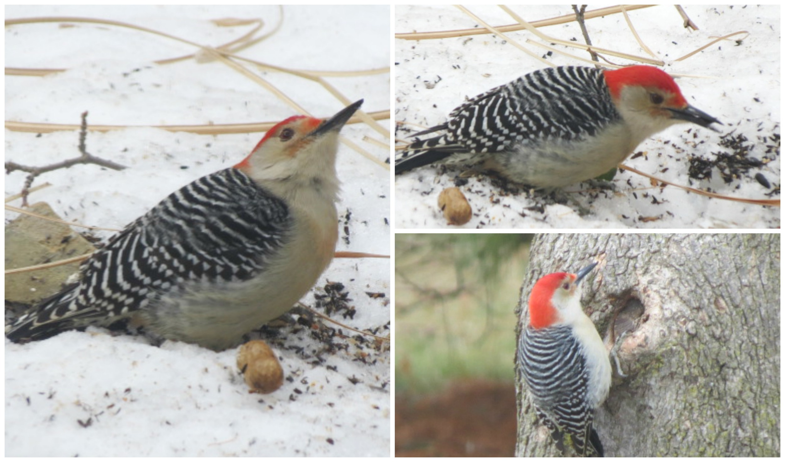 Red-bellied Woodpecker....on the ground & on a tree!