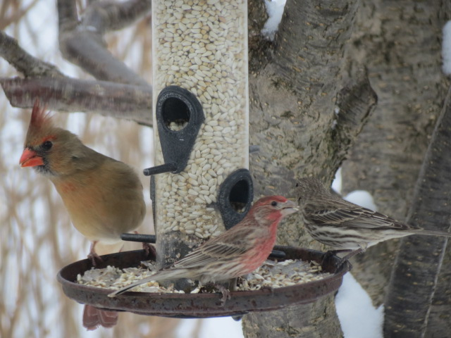 Female Cardinal sharing the Safflower Seed with the Finches!